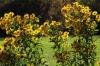 Heleenium sügispäikeses Pildi saatis: Lelu Kirjeldus: 30.09